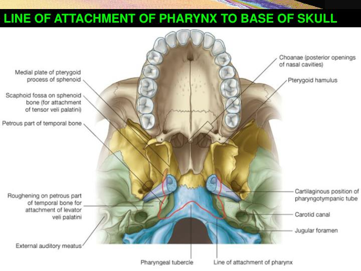 LINE OF ATTACHMENT OF PHARYNX TO BASE OF SKULL