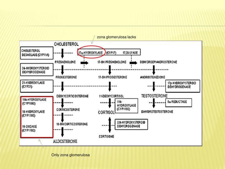 zona glomerulosa lacks