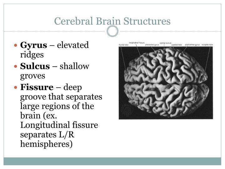 Cerebral Brain Structures