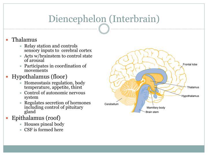 Diencephelon (Interbrain)