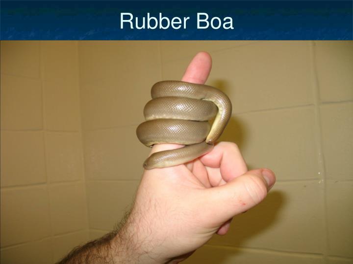 Rubber Boa