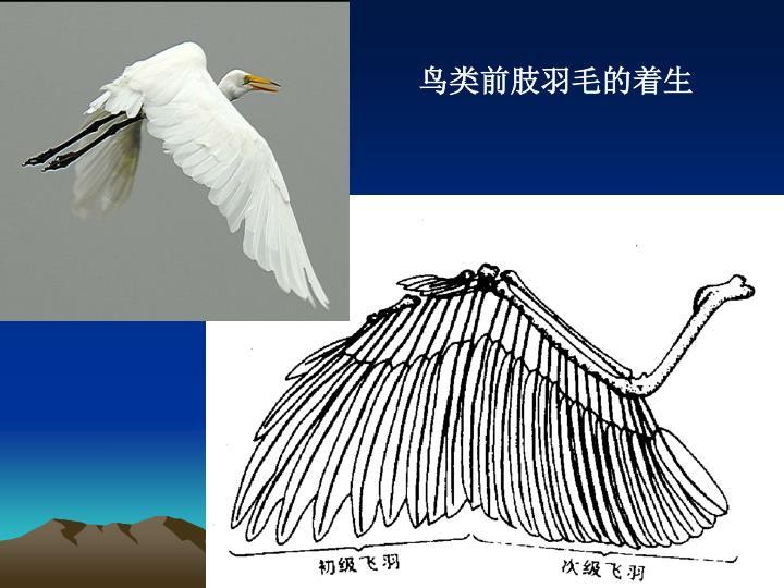 鸟类前肢羽毛的着生