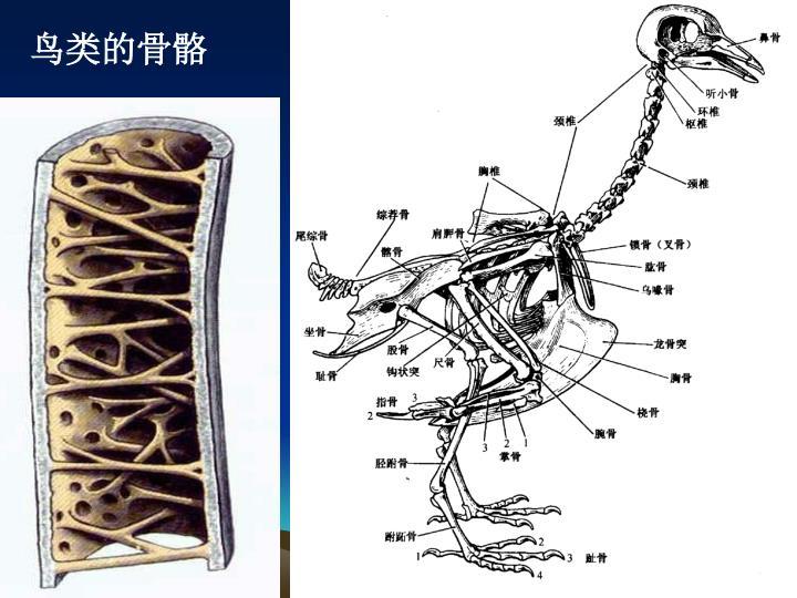 鸟类的骨骼
