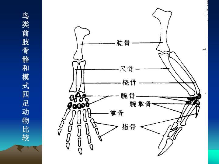 鸟类前肢骨骼和模式四足动物比较