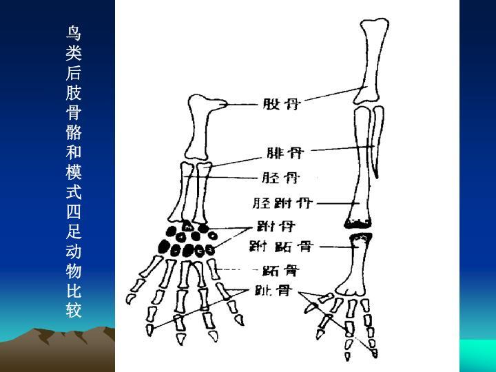 鸟类后肢骨骼和模式四足动物比较