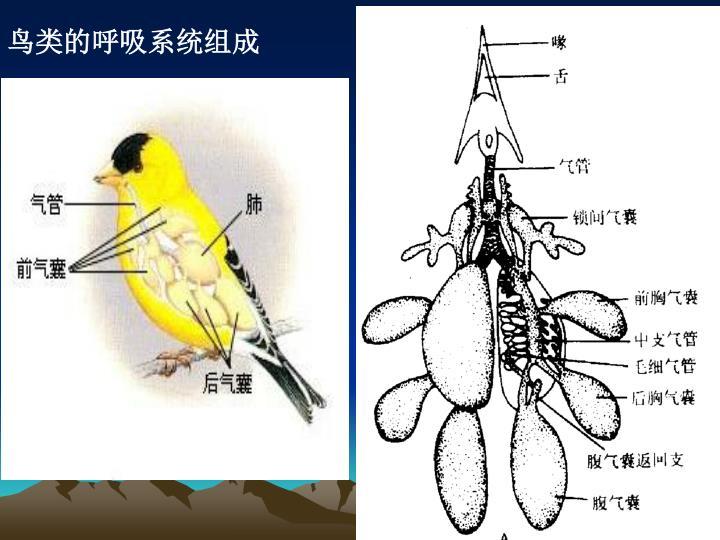 鸟类的呼吸系统组成