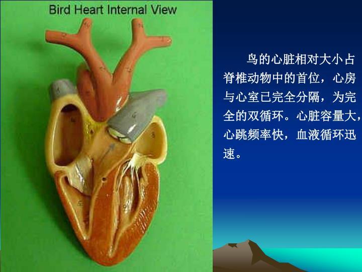鸟的心脏相对大小占脊椎动物中的首位,心房与心室已完全分隔,为完全的双循环。心脏容量大,心跳频率快,血液循环迅速。