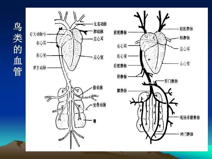 鸟类的血管