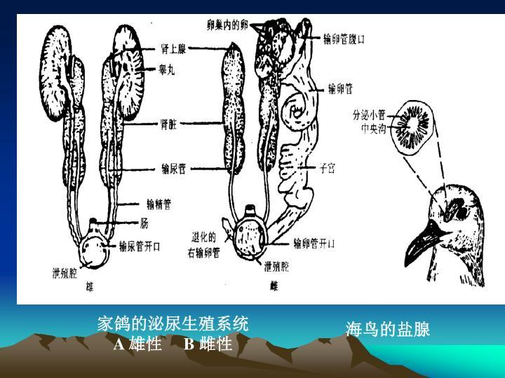 家鸽的泌尿生殖系统