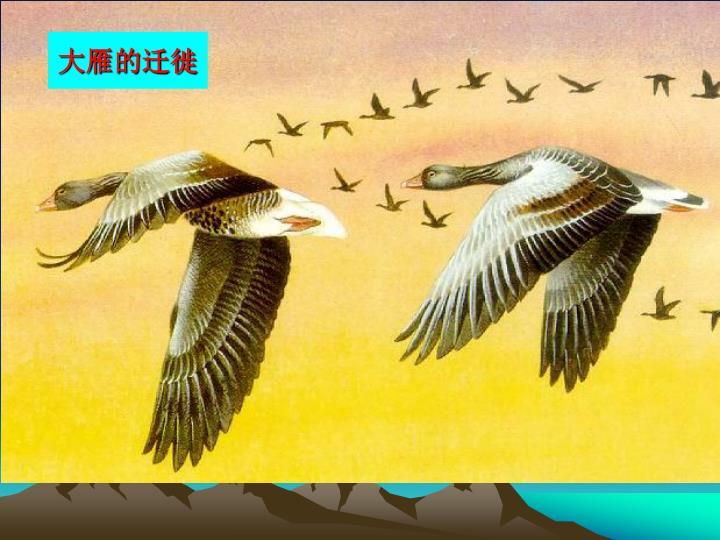 大雁的迁徙