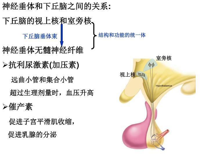 神经垂体和下丘脑之间的关系
