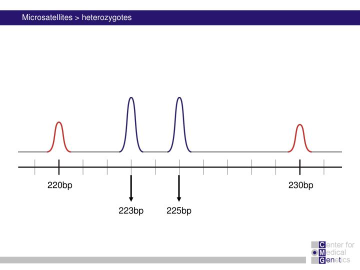 Microsatellites > heterozygotes