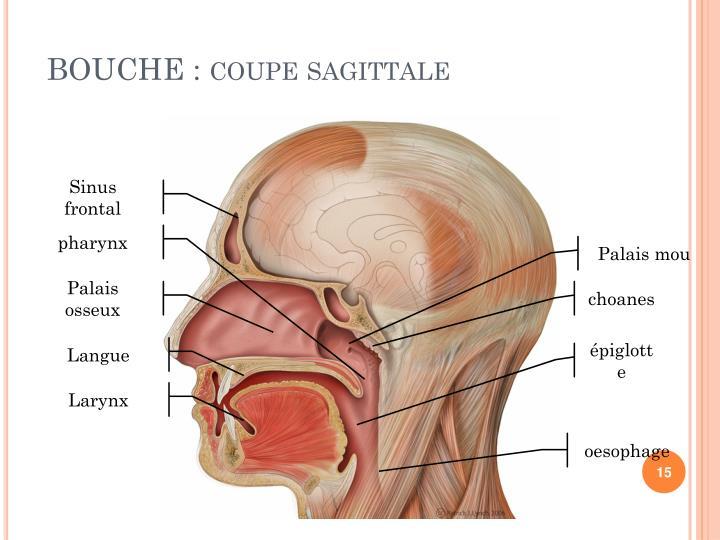 BOUCHE : coupe sagittale