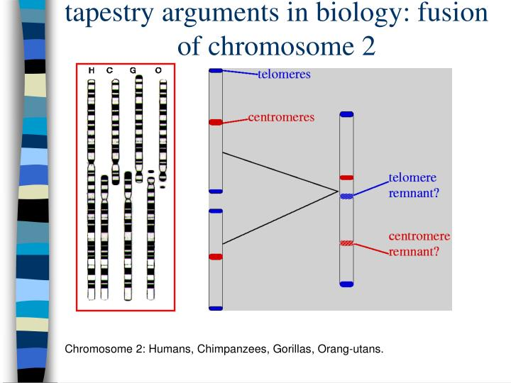 tapestry arguments in biology: fusion of chromosome 2