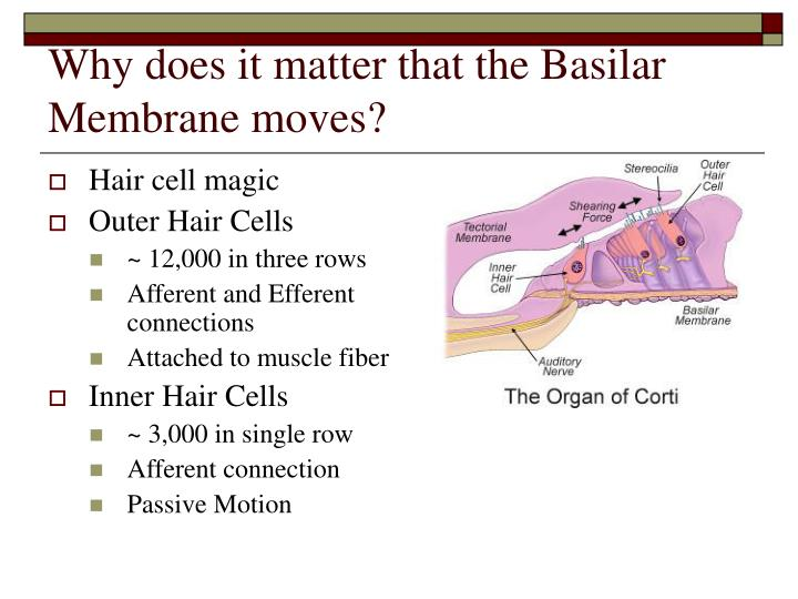 Why does it matter that the Basilar Membrane moves?