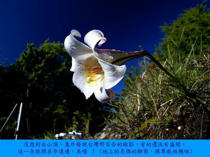 沒想到在山頂,意外發現台灣野百合的蹤影,有的還沒有盛開,