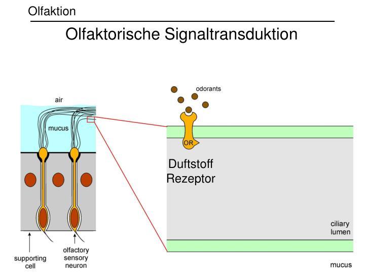 Olfaktorische Signaltransduktion