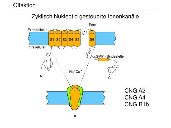 Zyklisch Nukleotid gesteuerte Ionenkanäle