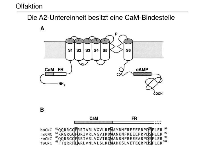 Die A2-Untereinheit besitzt eine CaM-Bindestelle