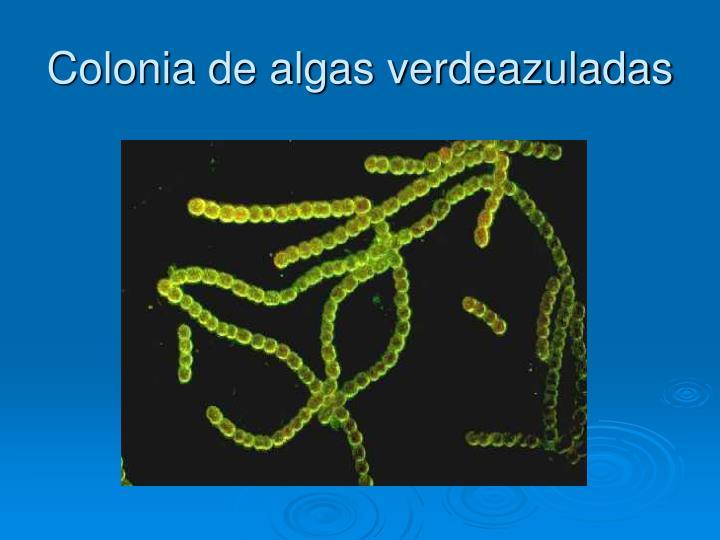 Colonia de algas verdeazuladas
