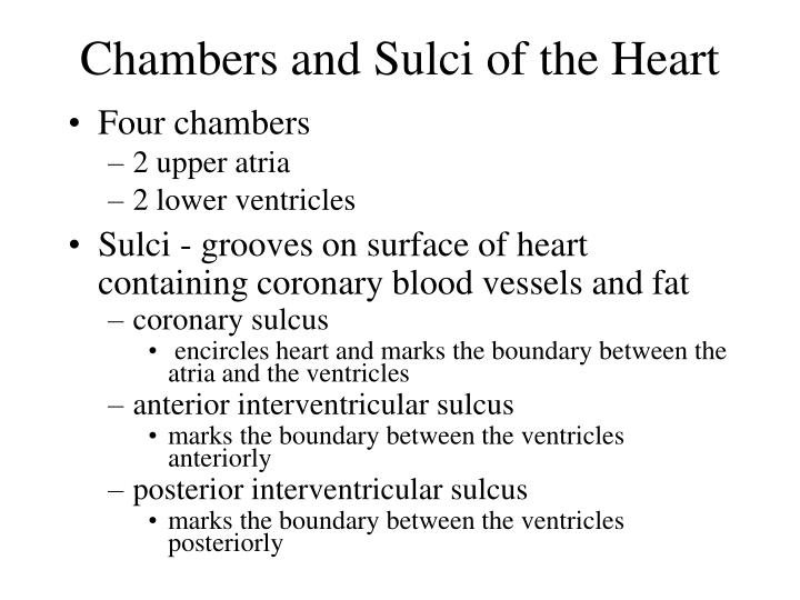 Chambers and Sulci of the Heart