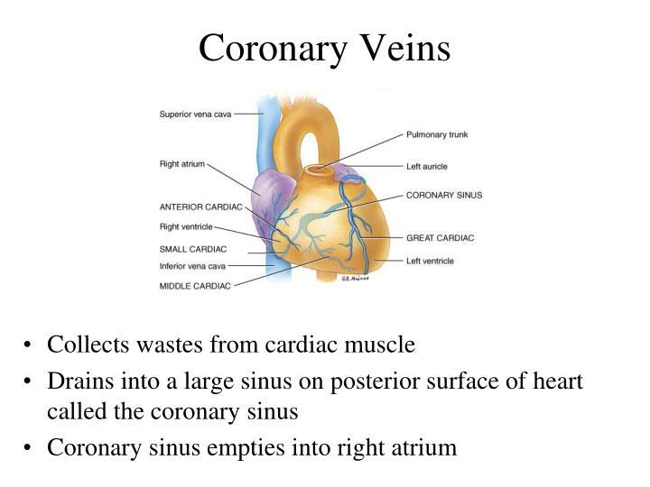 Coronary Veins