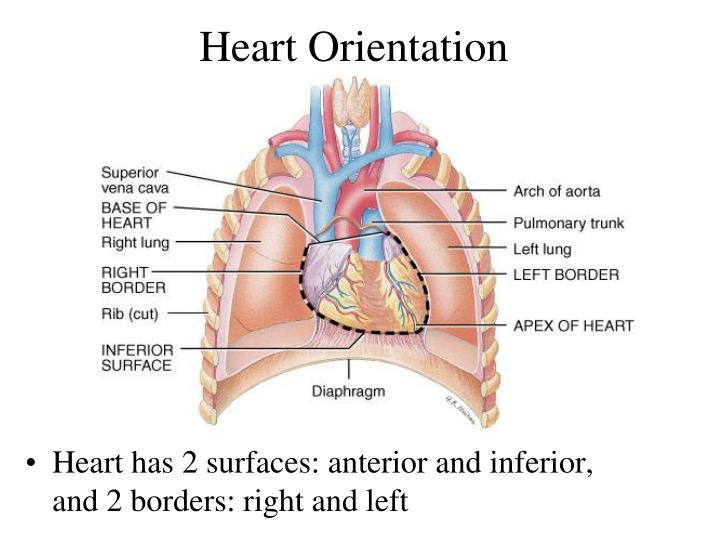 Heart Orientation