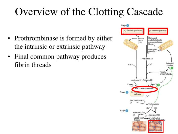 Overview of the Clotting Cascade