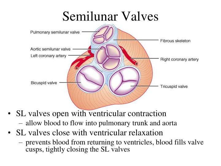 Semilunar Valves