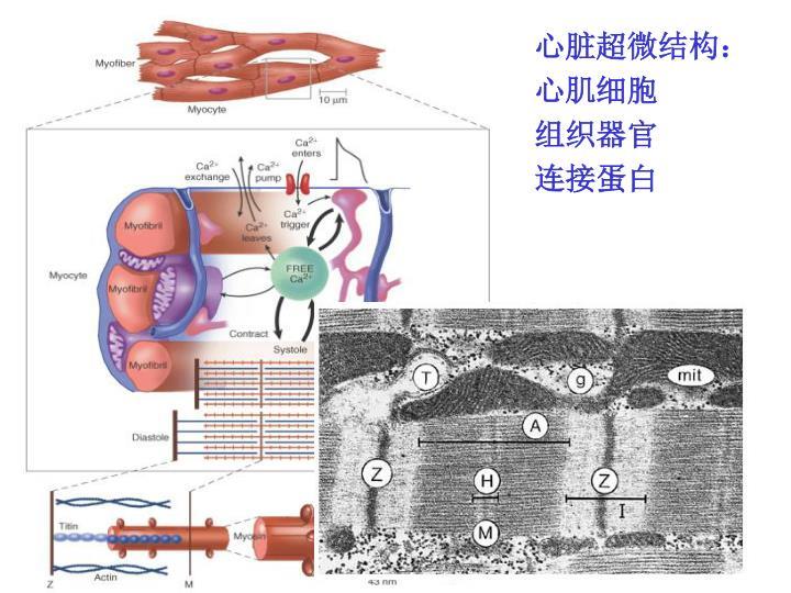 心脏超微结构: