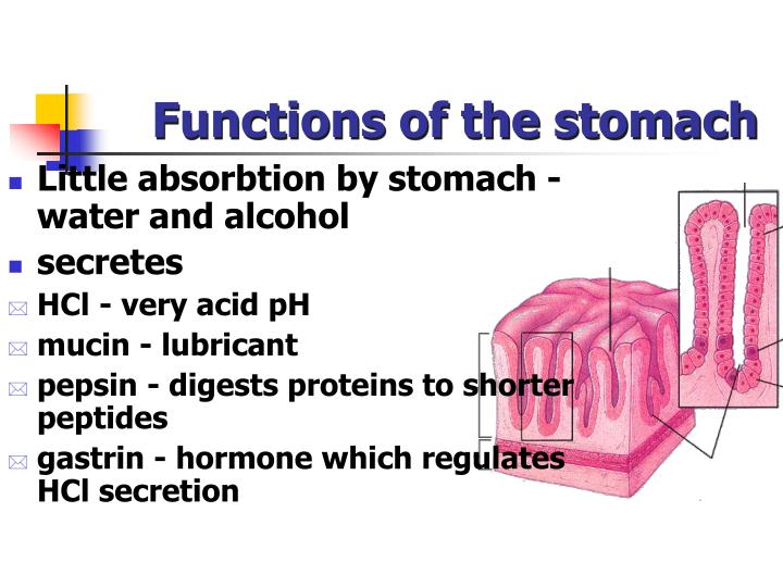 Functions of the stomach