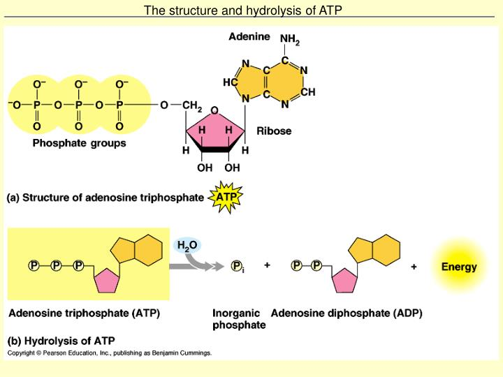 The structure and hydrolysis of ATP