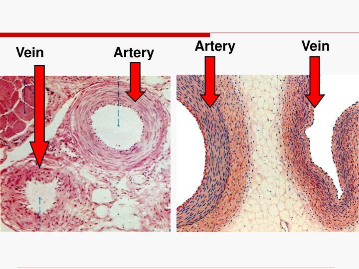 Artery                 Vein