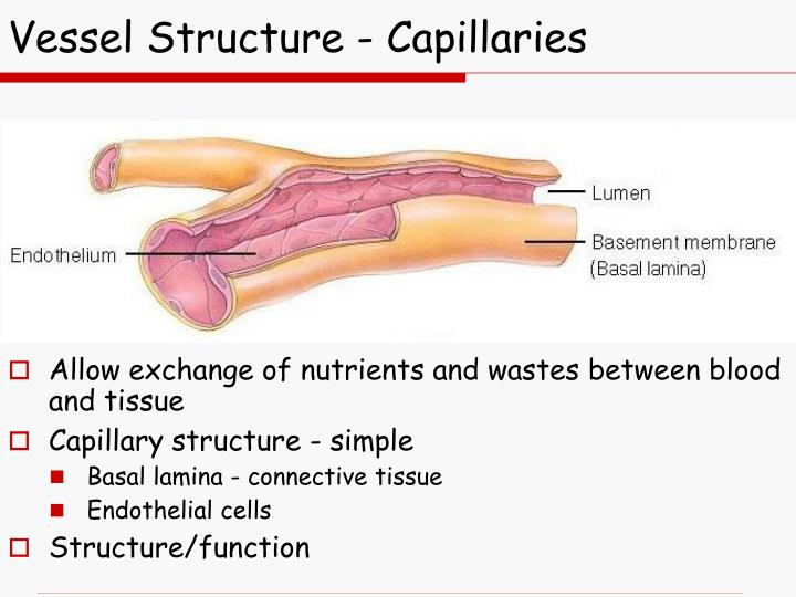 Vessel Structure - Capillaries