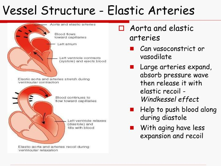 Vessel Structure - Elastic Arteries