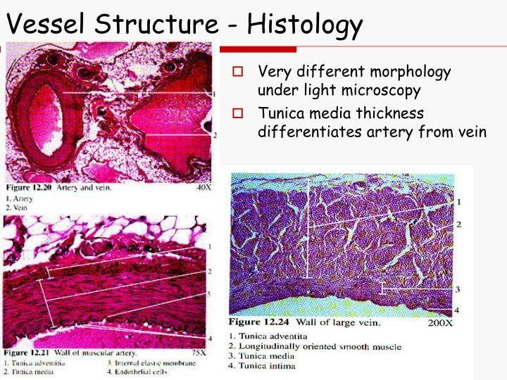 Vessel Structure - Histology
