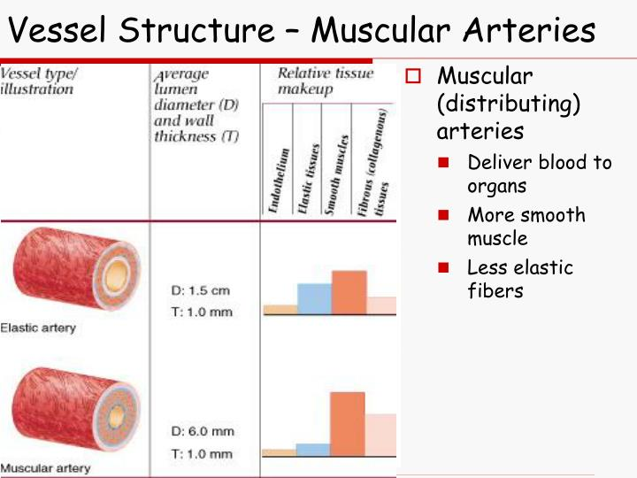 Vessel Structure – Muscular Arteries