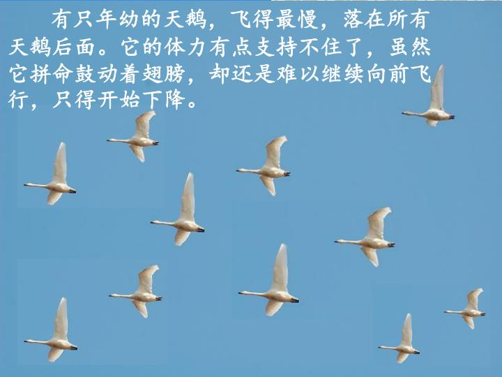 有只年幼的天鹅,飞得最慢,落在所有天鹅后面。它的体力有点支持不住了,虽然它拼命鼓动着翅膀,却还是难以继续向前飞行,只得开始下降。