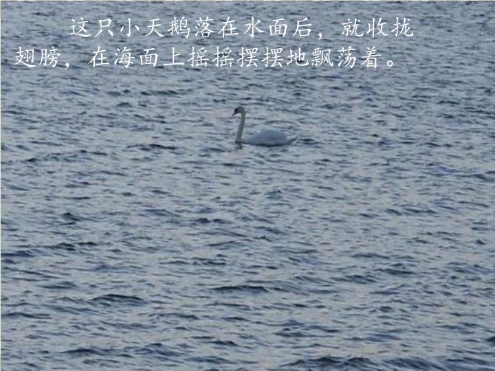 这只小天鹅落在水面后,就收拢翅膀,在海面上摇摇摆摆地飘荡着。
