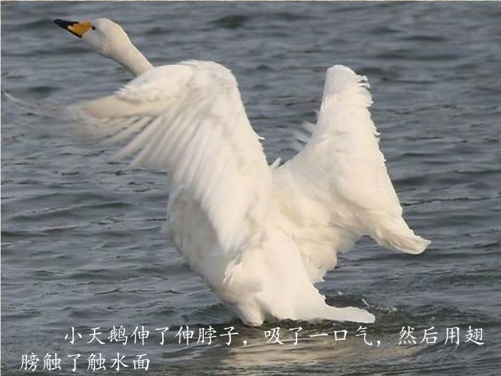 小天鹅伸了伸脖子,吸了一口气,然后用翅膀触了触水面