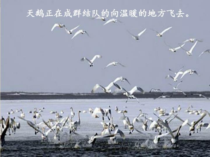 天鹅正在成群结队的向温暖的地方飞去。