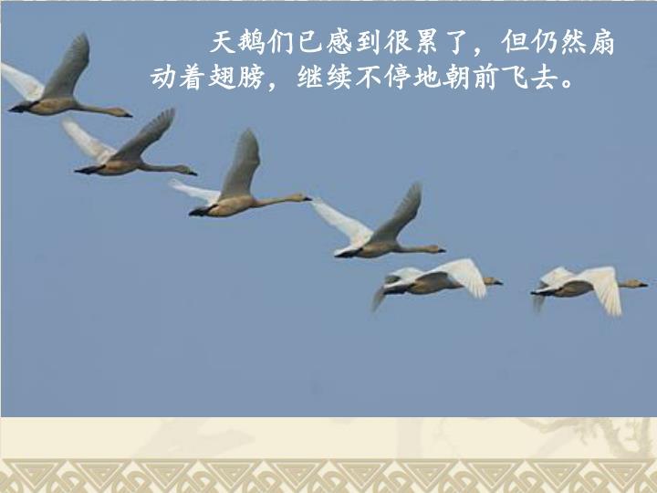 天鹅们已感到很累了,但仍然扇动着翅膀,继续不停地朝前飞去。