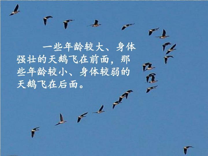 一些年龄较大、身体强壮的天鹅飞在前面,那些年龄较小、身体较弱的天鹅飞在后面。