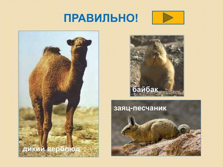 заяц-песчаник