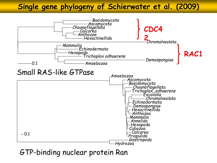 Single gene phylogeny of Schierwater et al. (2009)