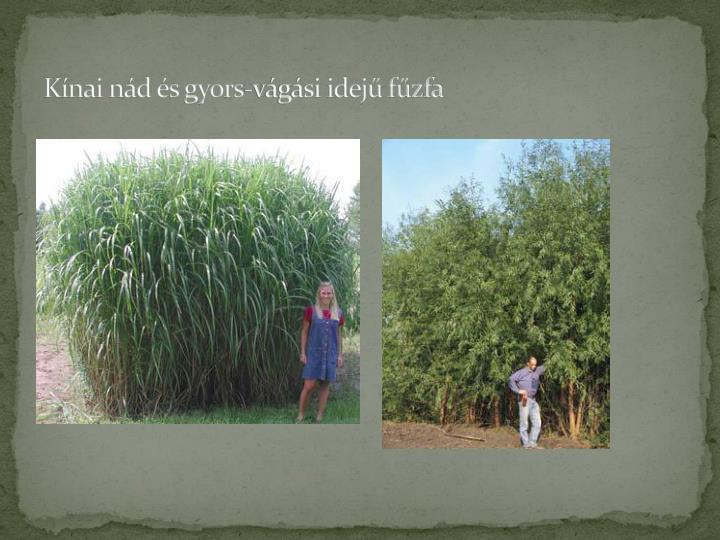 Kínai nád és gyors-vágási idejű fűzfa