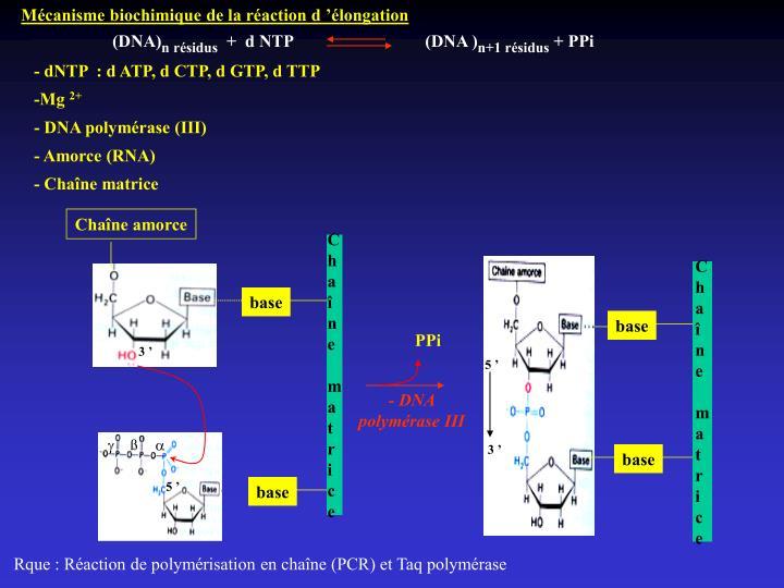Mécanisme biochimique de la réaction d'élongation