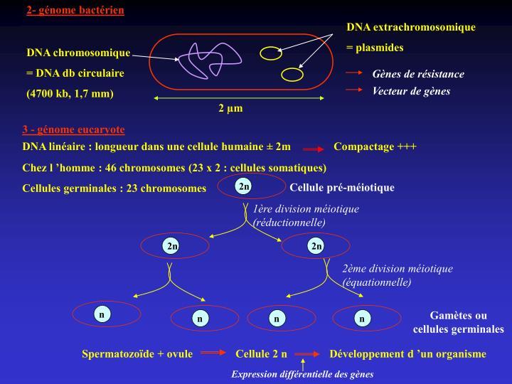 2- génome bactérien