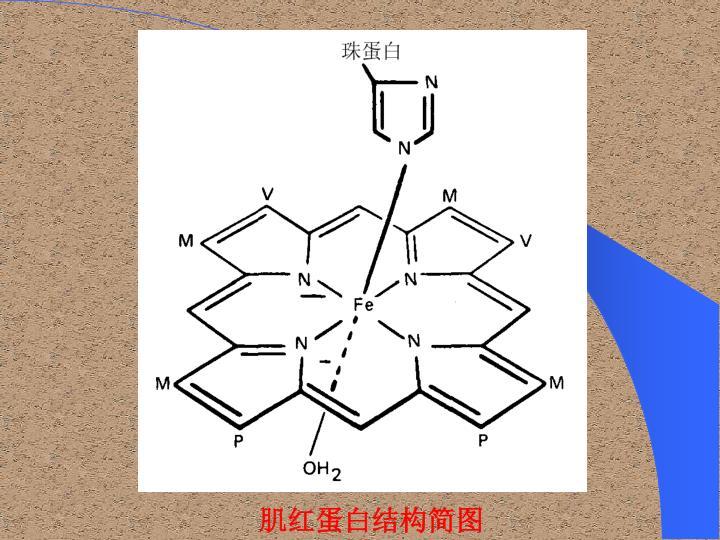 肌红蛋白结构简图