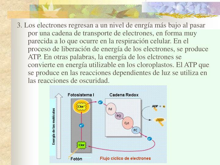 3. Los electrones regresan a un nivel de enrgía más bajo al pasar por una cadena de transporte de electrones, en forma muy parecida a lo que ocurre en la respiración celular. En el proceso de liberación de energía de los electrones, se produce ATP. En otras palabras, la energía de los elctrones se convierte en energía utilizable en los cloroplastos. El ATP que se produce en las reacciones dependientes de luz se utiliza en las reacciones de oscuridad.